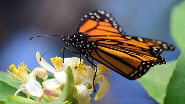 В США исчезают бабочки вида Данаида монарх