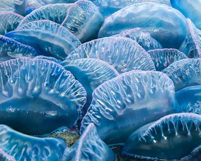 Австралию охватила «медузная эпидемия»