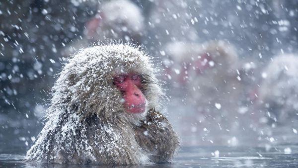 В Японии макаки по проводам перебрались через занесенное снегом поле