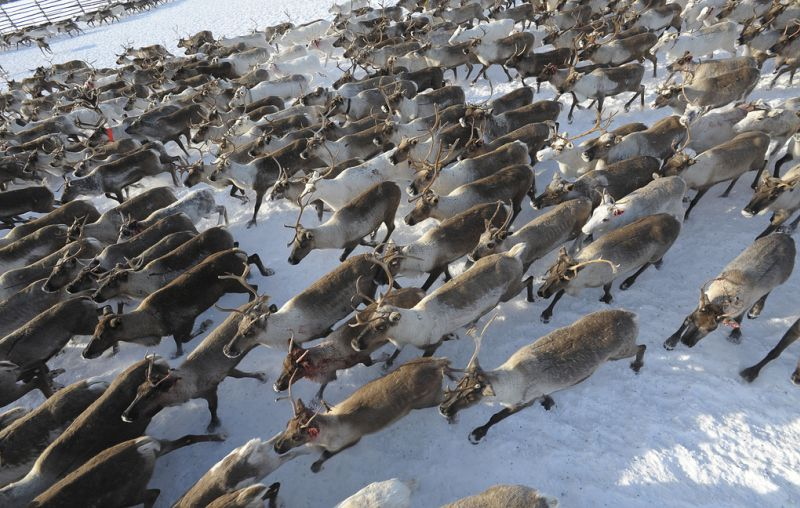 Среди оленей в Якутии зафиксировано почти двукратное сокращение доли самцов