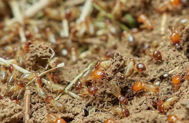 Термиты помогают выжить тропическим деревьям