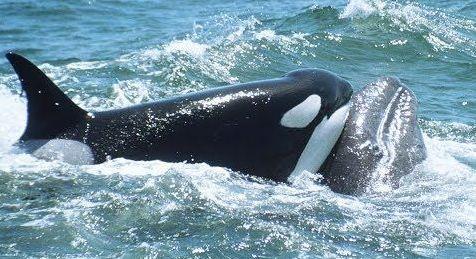 Как горбатые киты заступились за беспризорного китенка другого вида
