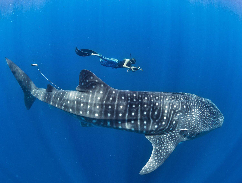 Китовые акулы оказались всеядными