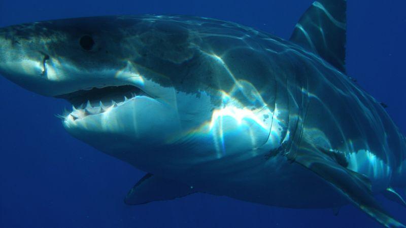 Расшифрованный геном белой акулы поможет справиться с раком и возрастными заболеваниями