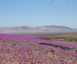 Чили: в пустыне Атакама наблюдается небывалый сезон цветения растений