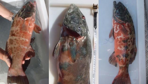 таким какие заболевания от плохой рыбы гарбуши клип трус лентяй