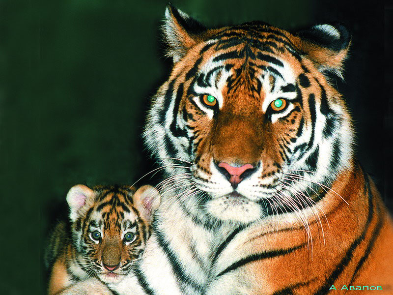 Популяция амурского тигра на Дальнем ...: earth-chronicles.ru/news/2012-09-28-31444