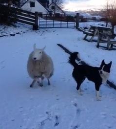 В Шотландии живет ягнёнок, который думает что он собака CVAVR AVR CodeVision cvavr.ru