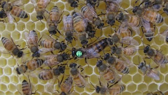 В США за год вымерло 50% пчел   Земля - Хроники жизни