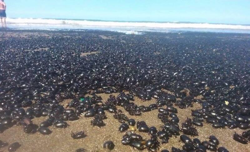 Загадочное нашествие жуков вдоль пляжей Сан-Бернардо в Аргентине