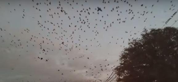 Полчища черных птиц атаковали город в американском штате Техас