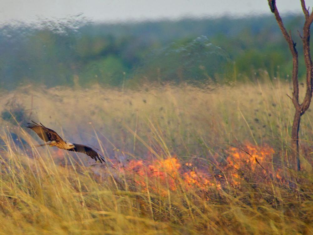 Пожары в Австралии распространялись птицами