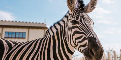 Полосатость зебр не дает покоя ученым