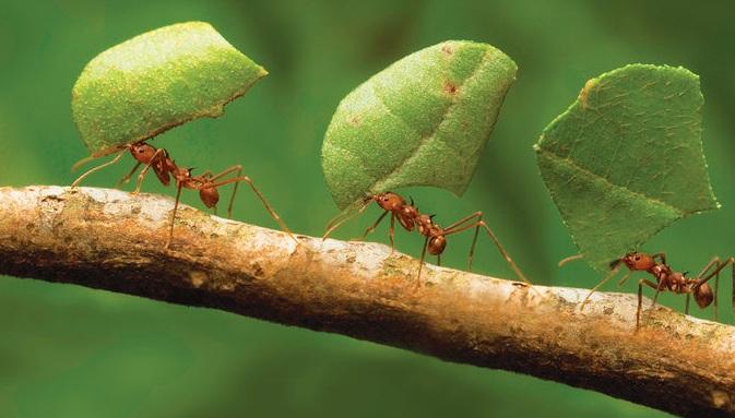 Муравьи действуют как единый организм