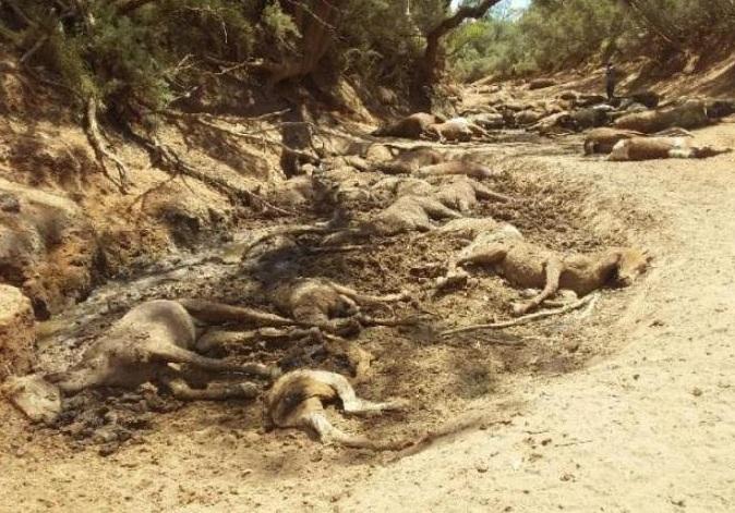 В Австралии от аномальной жары продолжают гибнуть животные