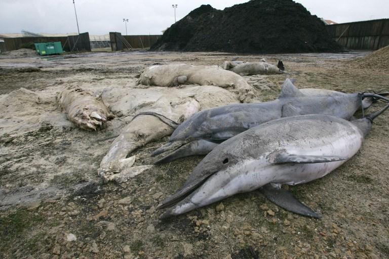 На побережье Франции выбрасывает сотни мертвых дельфинов