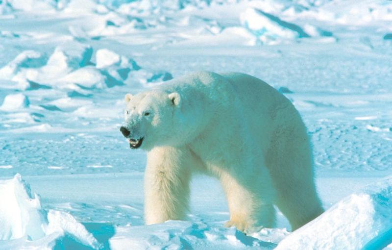 Белые медведи из-за теплой погоды не могут мигрировать на север.