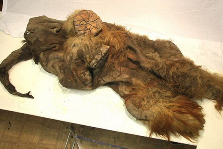 Картинки по запросу Мамонт живой, фото живого мамонта