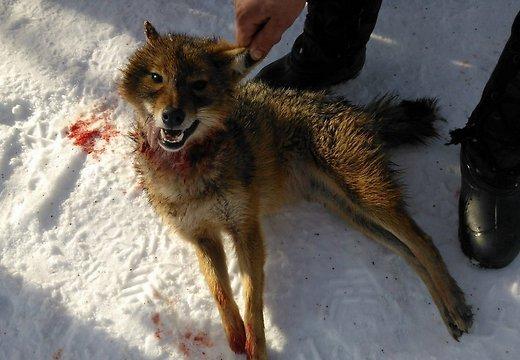 Картинки лисы и волка