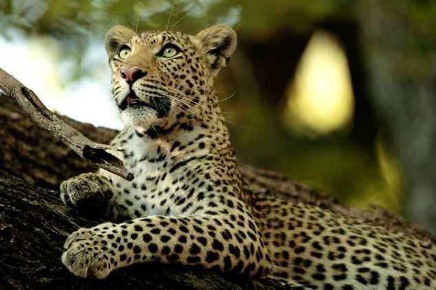Исследователи обнаружили шимпанзе, питающихся леопардами и гигантскими улитками