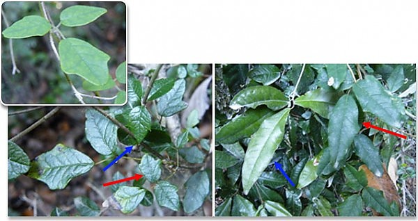 лиана Boquila trifoliolata
