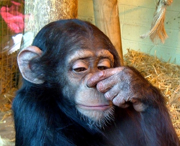 Картинки по запросу Люси — шимпанзе