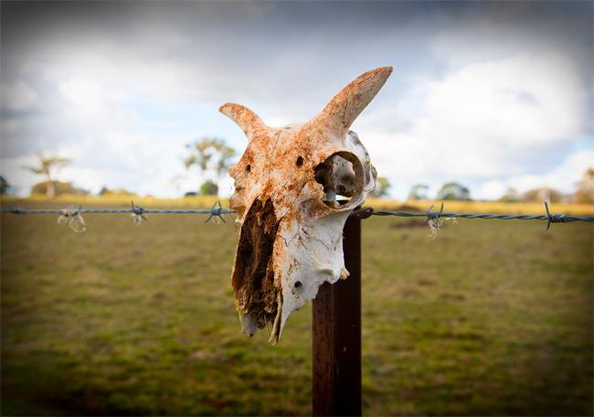 Череп животного на заборе из колючей проволоки. Вымирание животных и растений