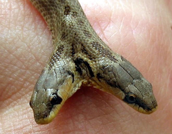 Рептилии узбекистана
