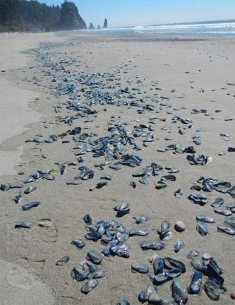 На пляжи Калифорнии вторглись загадочные синие существа CVAVR AVR CodeVision cvavr.ru