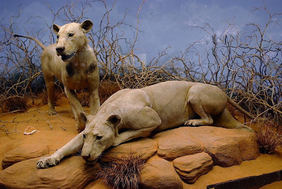 Львы из Цаво: людоеды, остановившие стройку британской железной дороги. Чучела реальных людоедов, «Призрак» и «Тьма» (Чикагский музей).