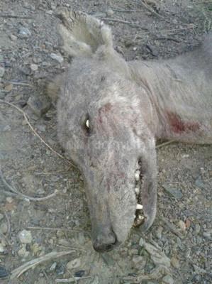 В Киргизии смогли убить чупакабру, пившую кровь у животных